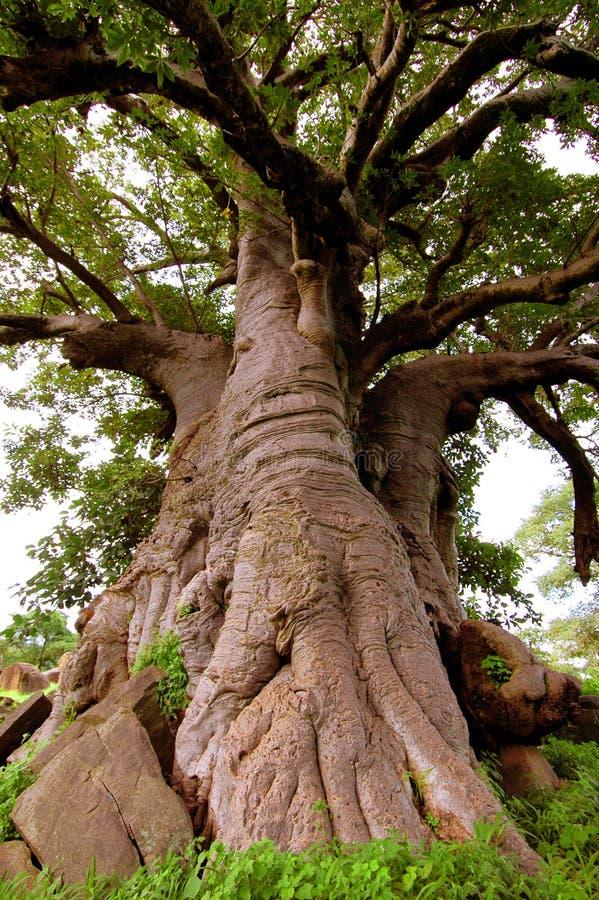 Jätte- Baobabträd i Senegal, Afrika royaltyfri bild