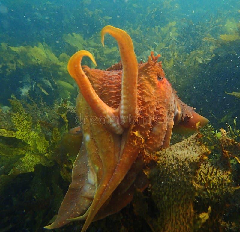 Jätte- bläckfisk arkivfoto