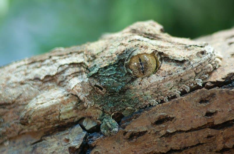 Jätte- blad-svans gecko, marozevo, royaltyfria bilder