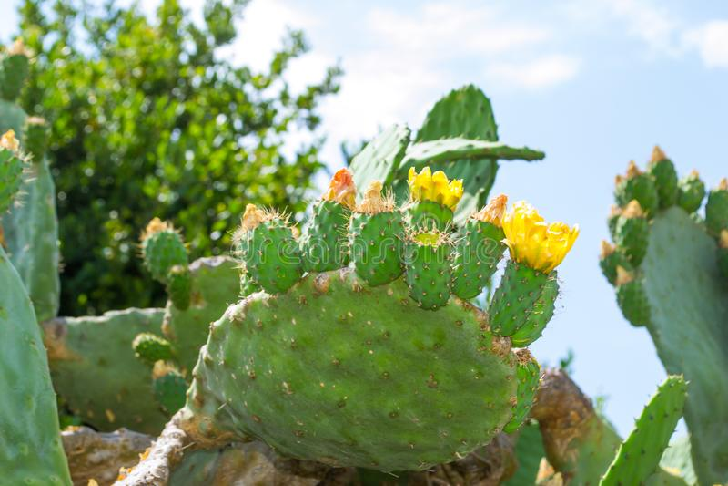 Jätte- blommande kaktus kalkon Sidostad royaltyfri bild
