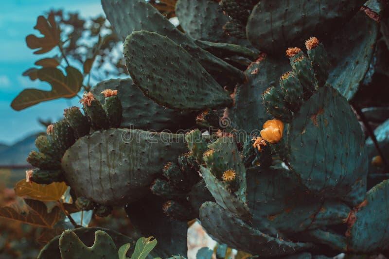 Jätte- blommande kaktusslut upp royaltyfri foto