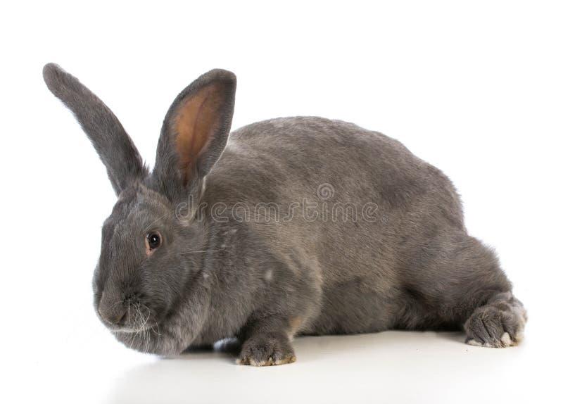 Jätte- flemish kanin arkivfoton