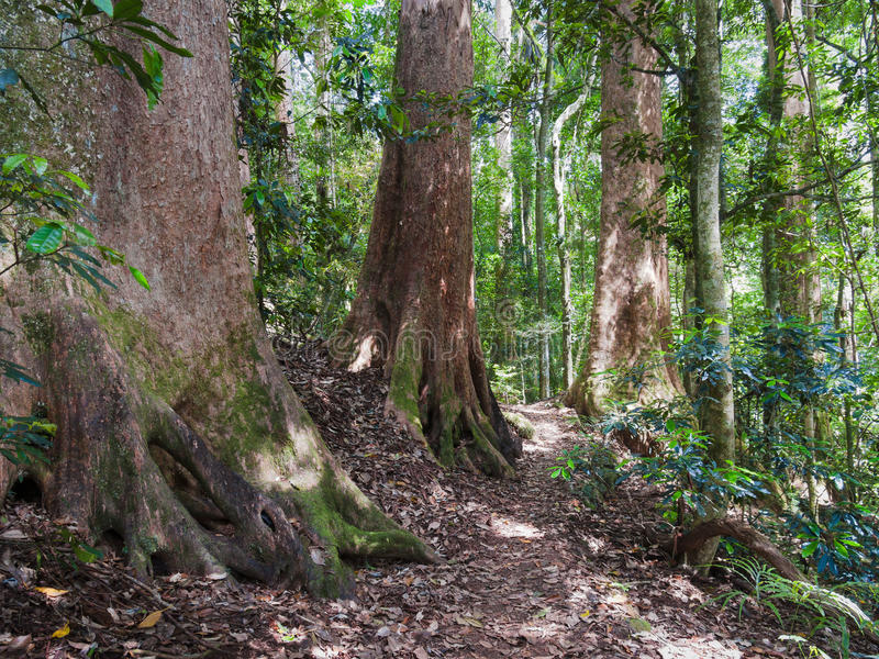 Jätte Forest Trees i Lamington, Queensland, Australien royaltyfria foton