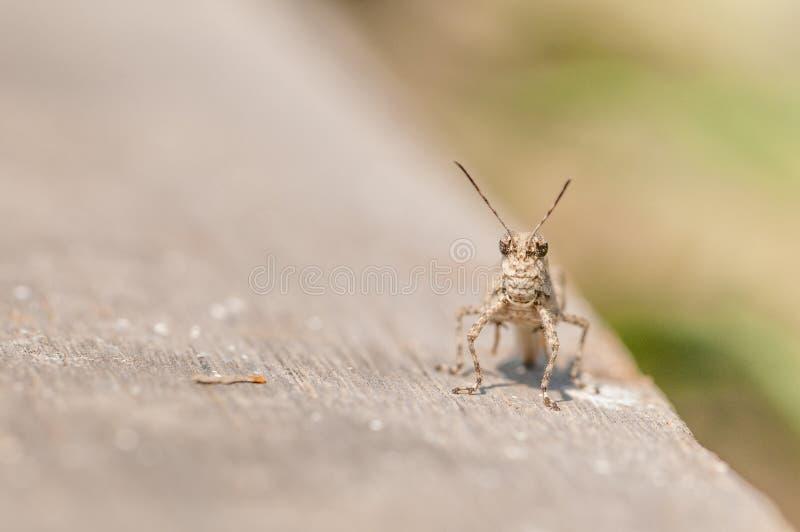 jätte- gräshoppa fotografering för bildbyråer