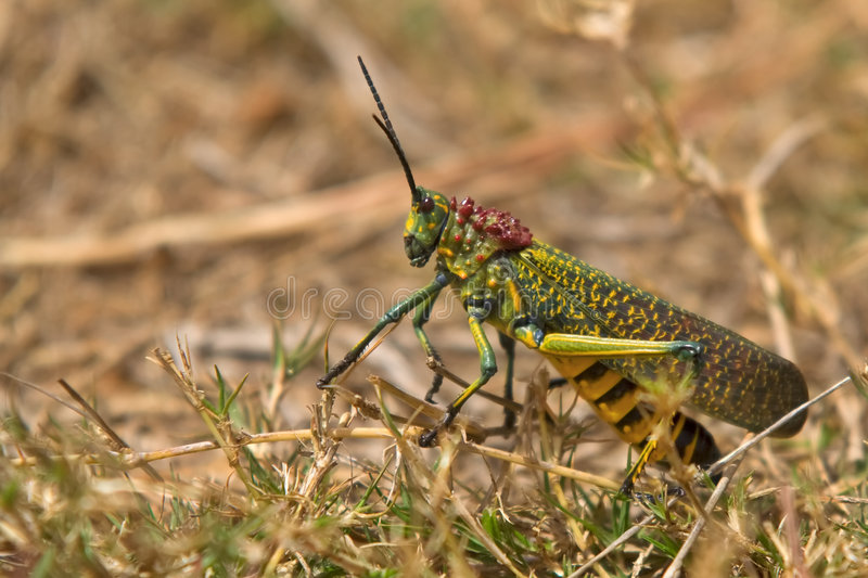 jätte- gräshopper royaltyfri foto