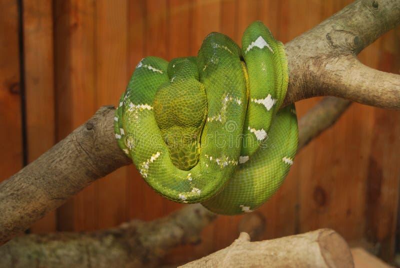 Jätte- grön orm som rullas ihop upp på träd arkivbild