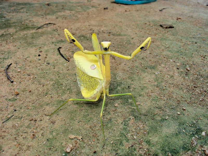 Jätte- gul defensiv slagställning för Amazoninian bönsyrsa fullständigt En av ett snällt foto arkivbilder