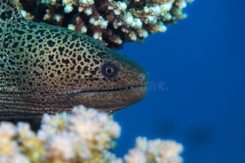 Jätte- Gymnothorax för morayål javanicus med den head klibba för ` s ut royaltyfri fotografi
