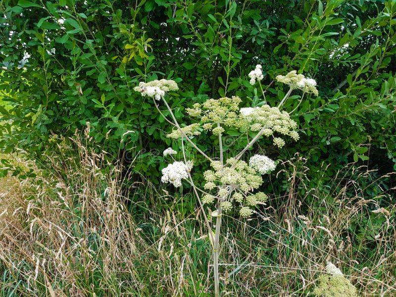 Jätte- heracleummantegazzianum arkivfoton