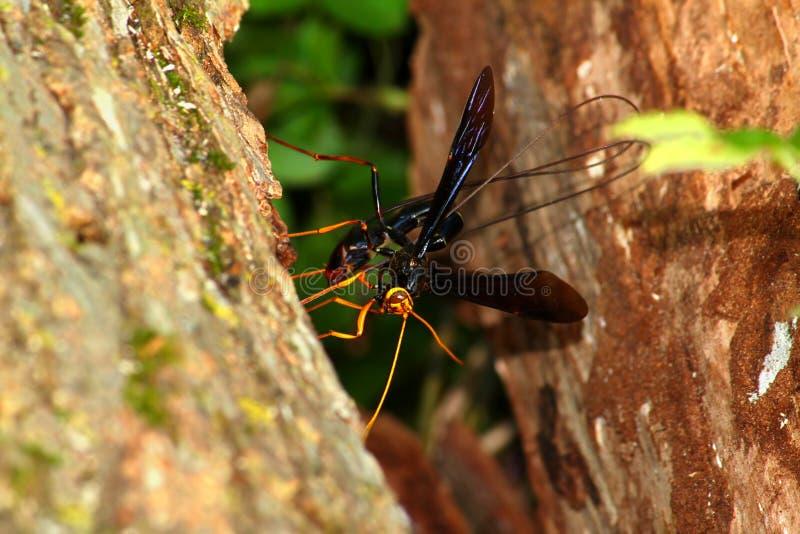Jätte- Ichneumon Wasp (den Megarhyssa atrataen) arkivbild