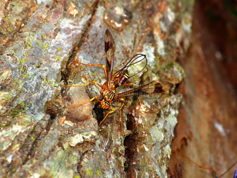 Jätte- Ichneumon Wasp (den Megarhyssa macrurusen) arkivbilder