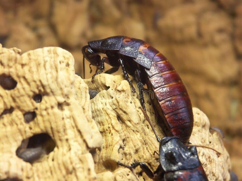 jätte- kackerlackor royaltyfri foto
