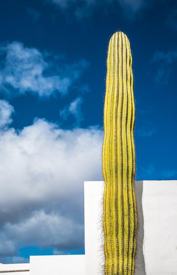 Jätte- kaktus över blå himmel, Lanzarote, kanariefågelöar, Spanien arkivfoton
