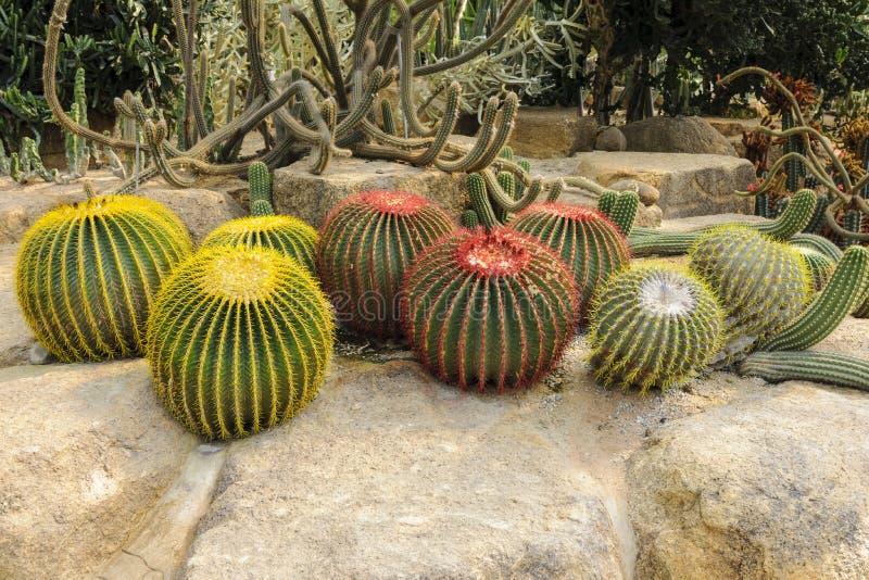 Jätte- kaktus royaltyfri bild