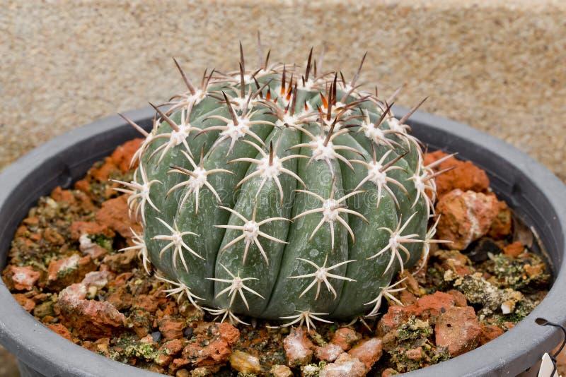 Jätte- kaktus i kruka arkivbilder