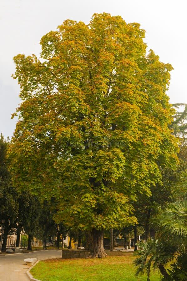 Jätte- kastanjebrunt träd för häst arkivbild