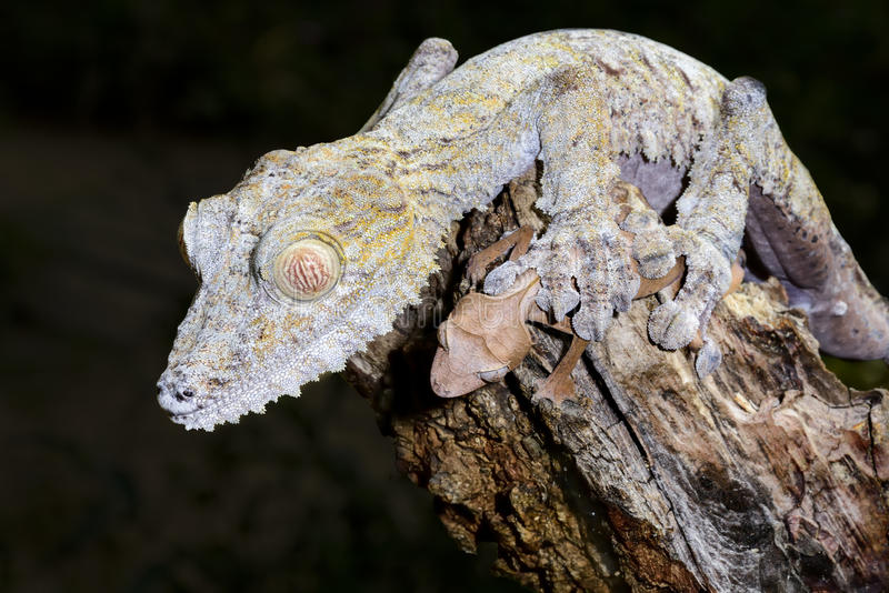 Jätte- leaf-svan gecko fotografering för bildbyråer