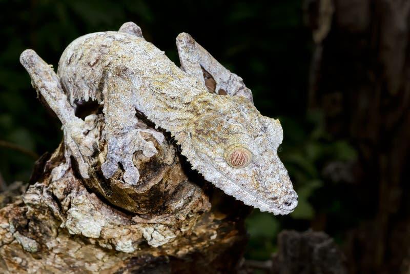 Jätte- leaf-svan gecko, marozevo arkivfoto