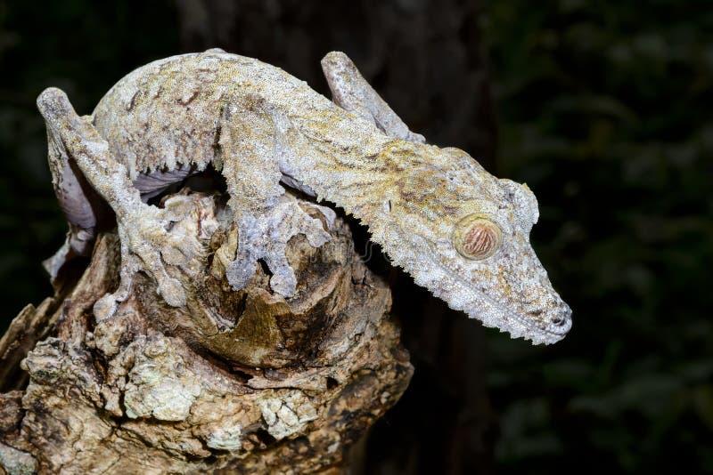 Jätte- leaf-svan gecko, marozevo royaltyfria bilder