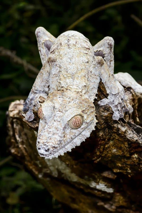 Jätte- leaf-svan gecko, marozevo arkivfoton