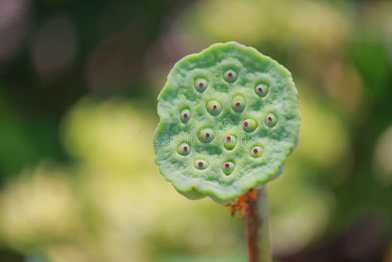 Jätte- lotusblommanedgångblommor arkivfoto