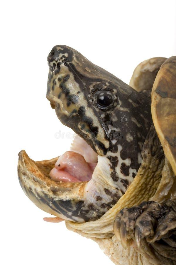 jätte- mexikansk musksköldpadda arkivfoton