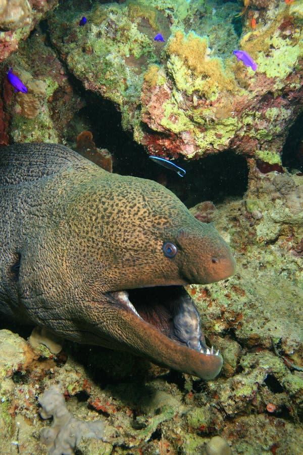 jätte- moray arkivfoto