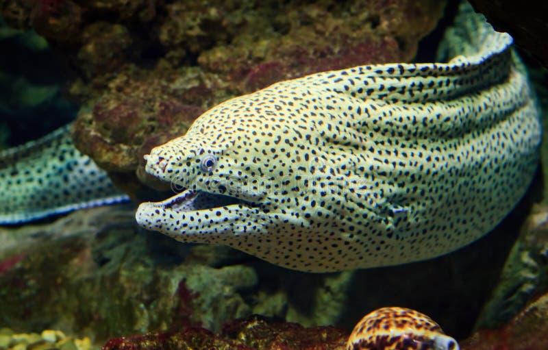 Jätte- moray ser ut från korallreven fotografering för bildbyråer