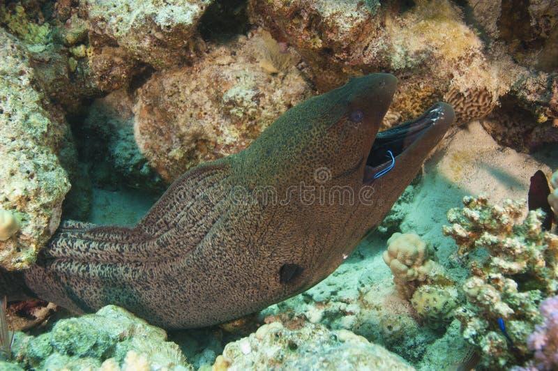 jätte- moraywrasse för mer cleaner ål arkivfoto