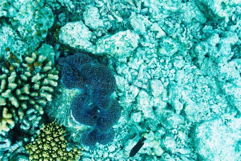 Jätte- mussla arkivfoto