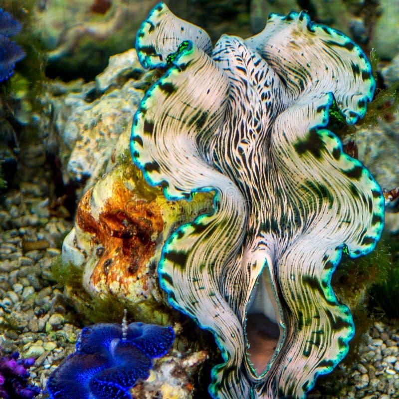 Jätte- mussla i den tropiska korallreven royaltyfri foto