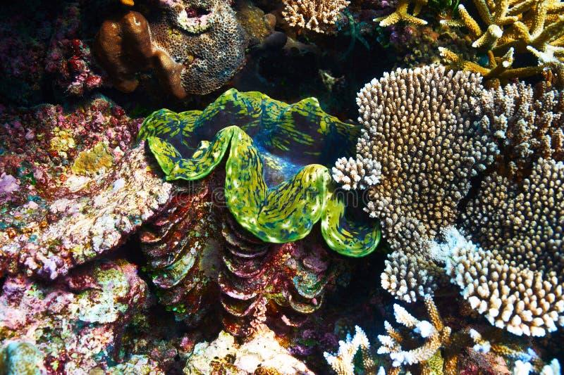 Jätte- mussla på den tropiska korallreven royaltyfria bilder