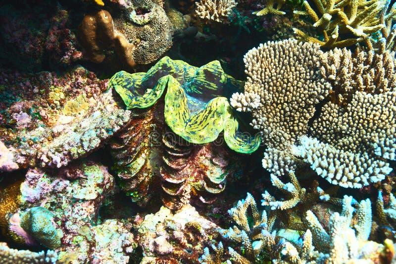 Jätte- mussla på den tropiska korallreven royaltyfri fotografi