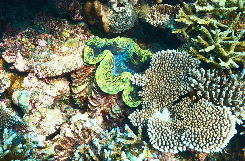 Jätte- mussla på den tropiska korallreven royaltyfria foton