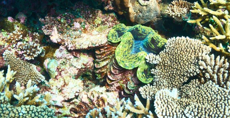Jätte- mussla på den tropiska korallreven arkivbilder