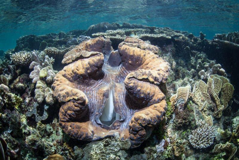 Jätte- mussla på den tropiska Stillahavs- reven arkivbild