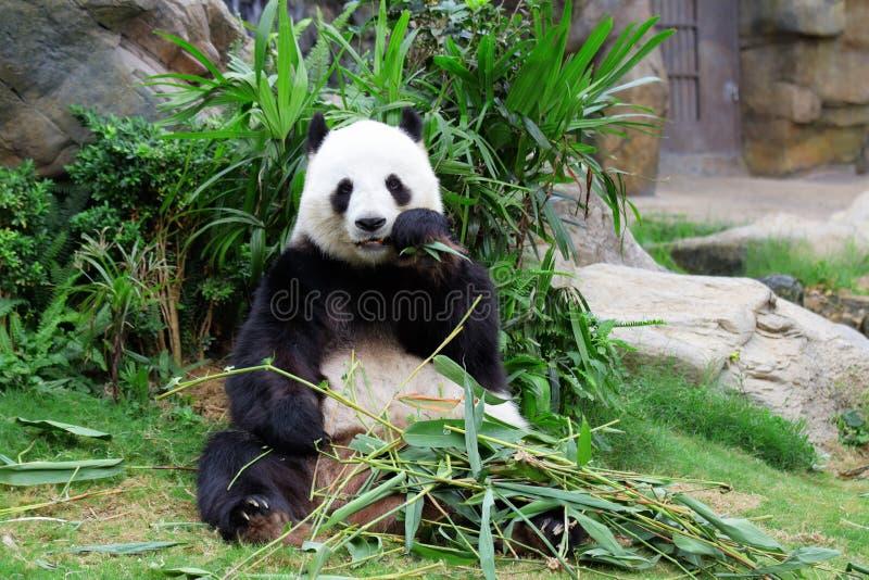 Download Jätte- panda fotografering för bildbyråer. Bild av park - 27279577