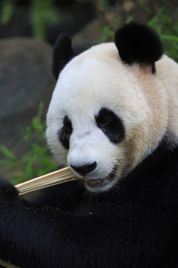 Jätte- Panda 3 Arkivbilder