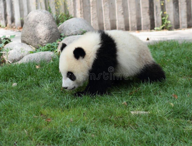 Jätte Panda Cub royaltyfri fotografi