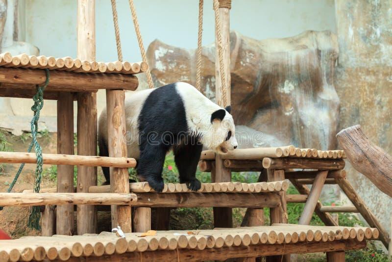 Jätte- panda - en av den utomhus- populäraste turist- dragningen arkivfoto