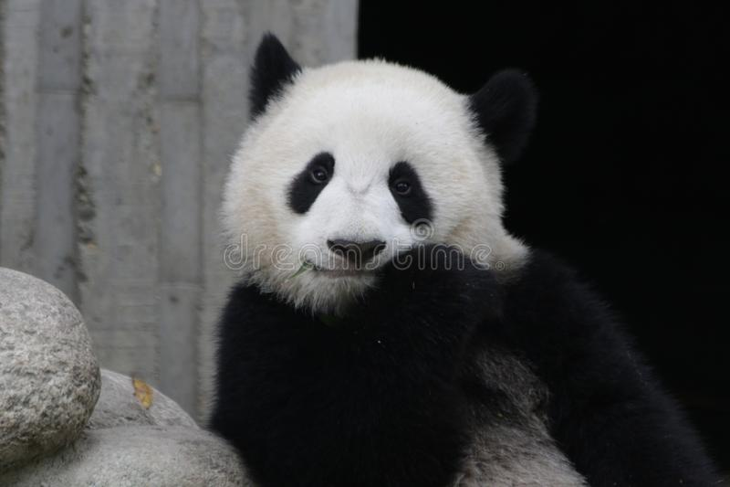 Jätte- panda i Chengdu, Kina royaltyfria bilder