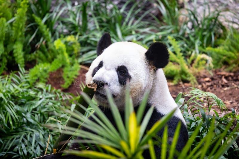 Jätte- panda i zoomiljö royaltyfri fotografi