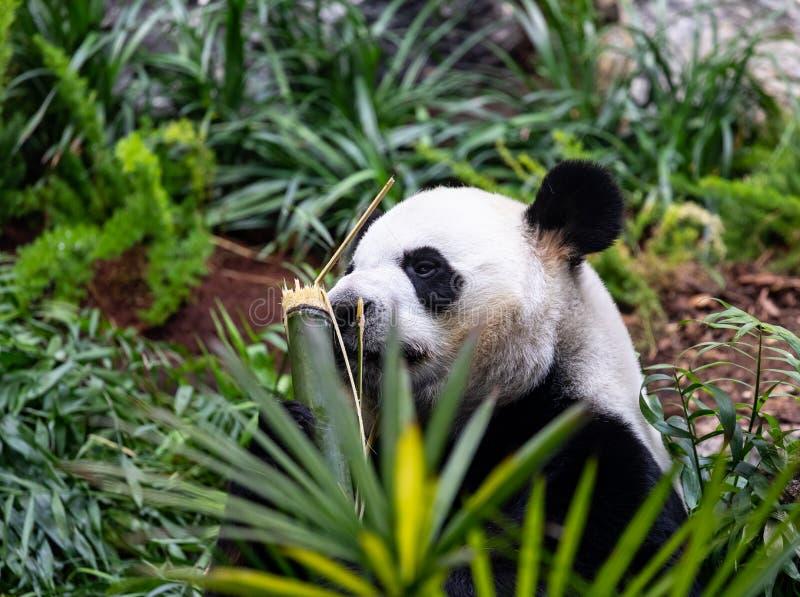 Jätte- panda i zoomiljö royaltyfri bild