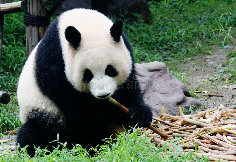 Jätte- panda och dess lunch arkivfoto