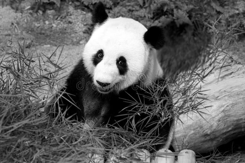 Jätte- panda på den nationella zoo, Malaysia arkivbilder