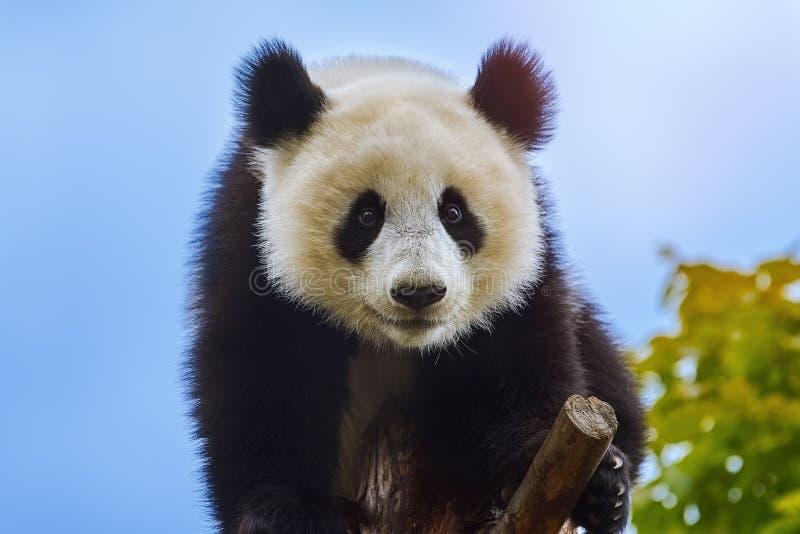 Jätte- panda på trädet royaltyfria bilder