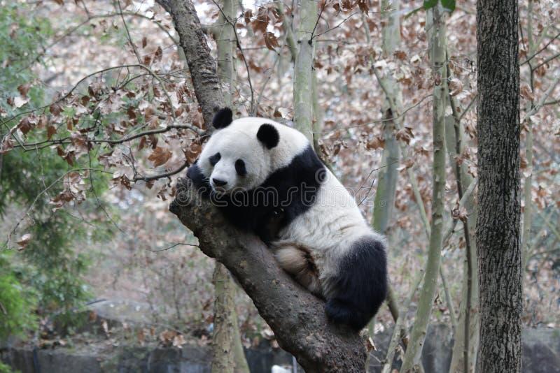 Jätte Panda Sitting på trädet, Chengdu, Kina fotografering för bildbyråer