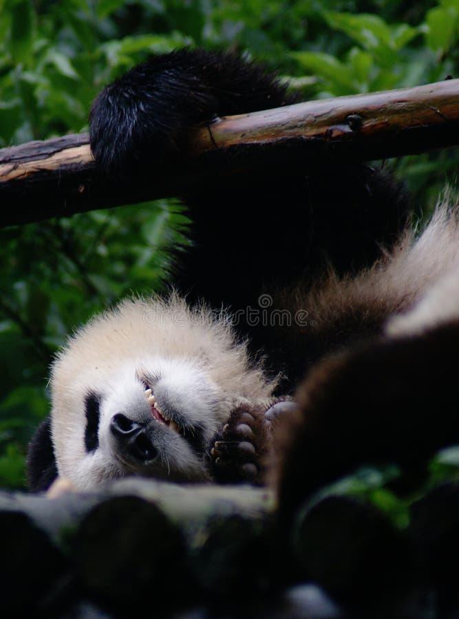 Jätte Panda Sleep arkivbild