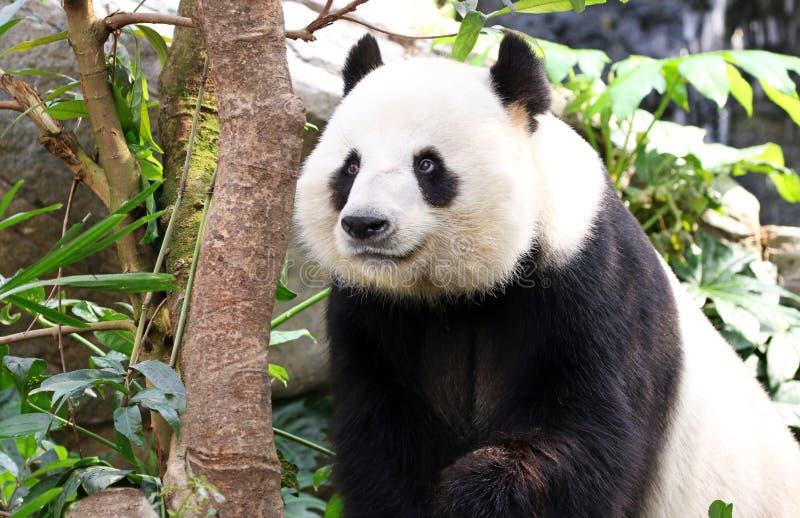 Jätte Panda Smiling, Chengdu, Szechuan, Kina arkivbild