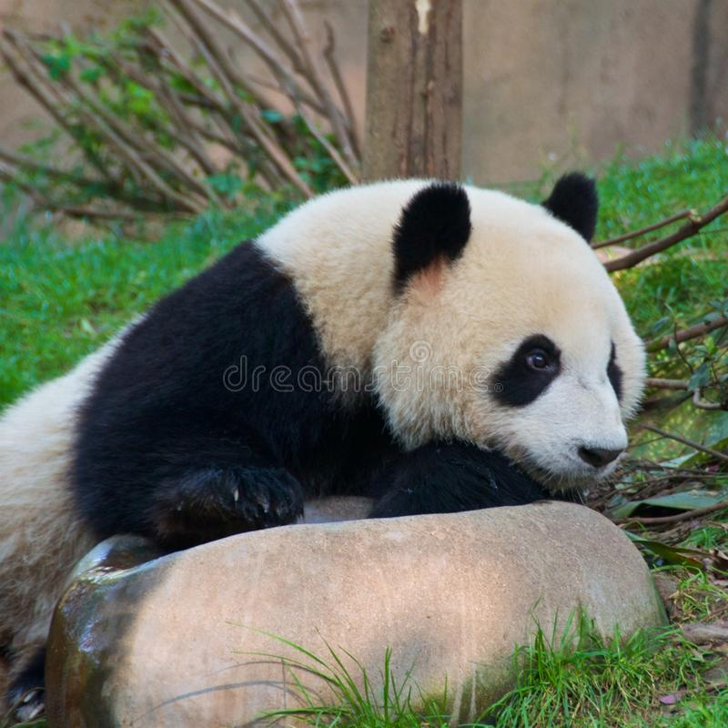 Jätte- panda som äter bambu i fristad i Chengdu, Kina royaltyfri foto